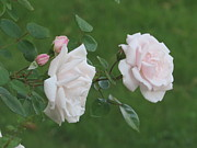 Everything Originals - Antique Pink Roses by Elisabeth Ann