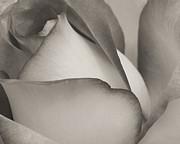 Antique Rose Print by Sabrina L Ryan