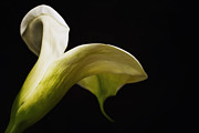 Flower Still Life Prints Prints - Antique Trumpet Lily Print by Kim Andelkovic