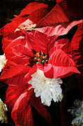 Robin Lewis - Antiqued Poinsettia