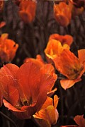 Michelle Calkins - Antiqued Tulips