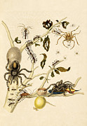 Ants Spiders Tarantula And Hummingbird Print by Getty Research Institute