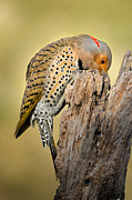 Woodpeckers Photos - Any nuts by Bill  Wakeley
