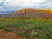 Wildflower Photos Prints - Anza Borrego Sunset Print by Lynn Bauer