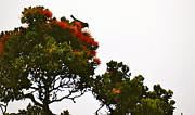 Lehua Pekelo-Stearns - Apapane atop an Orange...