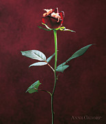 Red Rose Photos - Aphids by Anne Geddes