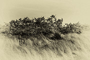 Sea Oats Prints - Apollo Beach Grass Print by Marvin Spates