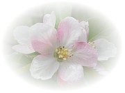 Judy Hall-Folde - Apple Blossom