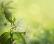 Mythja  Photography - Apple blossom