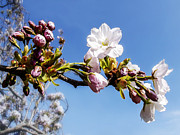 Yvon -aka- Yanieck  Mariani - Apple Blossom on blue sky