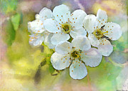 Photomanipulation Photo Prints - Apple Blossom Painted effect Print by Debbie Portwood