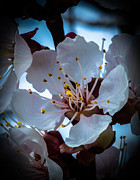 Flowering Trees Prints - Apple Blossom Print by Robert Bales
