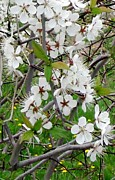 State Of Arkansas Posters - Apple Blossom Tree Poster by Gail Matthews