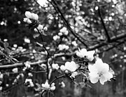 Tree Blossoms Prints - Apple Blossoms Print by Aaron Aldrich