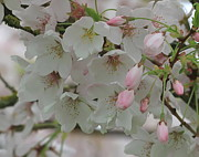 Tree Blossoms Prints - Apple Blossoms Print by Angie Vogel