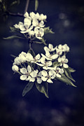 Vintage Texture Prints - Apple Blossoms Print by Edward Fielding