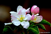 Rabiah Seminole - Apple Blossoms