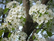 Randi Shenkman Metal Prints - Apple Blossoms Metal Print by Randi Shenkman