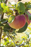 Farm Stand Art - Apple on the bough by Susan Colby