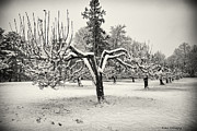 Trumbull Connecticut Prints - Apple Orchard in Winter Print by Fran Gallogly