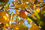 La Porte Framed Prints - Apple Picking Framed Print by Anthony Doudt