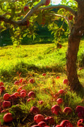 Apple Orchards Prints - Apple Picking Print by Joann Vitali