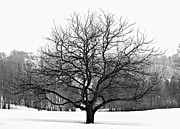 Winter Park Metal Prints - Apple tree in winter Metal Print by Elena Elisseeva