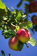 Health Food Digital Art Posters - Apples On Tree Poster by Christina Rollo