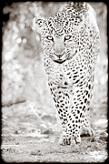 Leopard Hunting Framed Prints - Approaching Leopard Framed Print by Mike Gaudaur