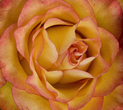 Michael Friedman Prints - Apricot Rose Print by Michael Friedman