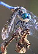 Featured Photos - Aqua Dragonfly by Carol Groenen