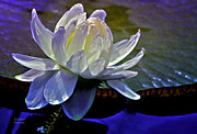 Waterlily Metal Prints - Aquatic Beauty in White Metal Print by Julie Palencia