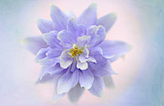 Flowered Prints - Aquilegia Aura Print by Jacky Parker