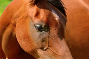 Bay Horse Originals - Arab Horse by Tommy Hammarsten