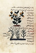 Miniatures Art - Arab Manuscript Depicting A Plant D by Everett