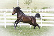 Forelock Photos - Arabian D5542 by Wes and Dotty Weber