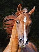 Wild Horses Prints - Arabian gelding Print by James Shepherd