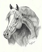 Stallion Drawings - Arabian Stallion by Suzanne Schaefer