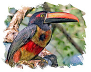 Toucan Digital Art Posters - Aracari Poster by Larry Linton