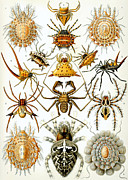Haeckel Framed Prints - Arachnida Framed Print by Nomad Art And  Design