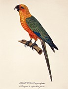 Vibrant Colors Drawings Prints - Aratinga Chrysocephalus  Print by German School