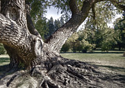 Tree Roots Photos - Arboretum Tree by Daniel Hagerman