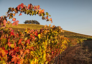 Sonoma Photos - Arched Grapevine in Autumn by Kent Sorensen
