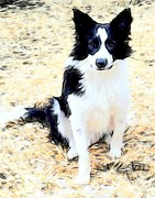 Collie Digital Art Posters - Archie the Border Collie Poster by Barbara  Sellers