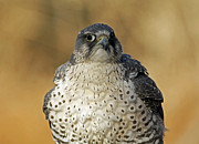 Gyrfalcon  Metal Prints - Arctic Chill Majestic Gyrfalcon Metal Print by Inspired Nature Photography By Shelley Myke