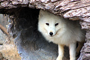 Arctic Posters - Arctic Fox in a Log Poster by Nick Gustafson