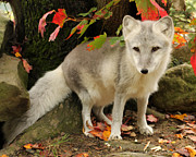 Deborah  Smith - Arctic Fox In Fall