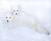 Deborah  Smith - Arctic Foxes In The Snow