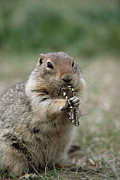 Michael Quinton - Arctic Ground Squirrel...