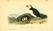 Pair Drawings Prints - Arctic Puffin Print by John James Audubon
